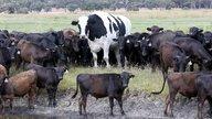 knickers-giant-cow.jpg